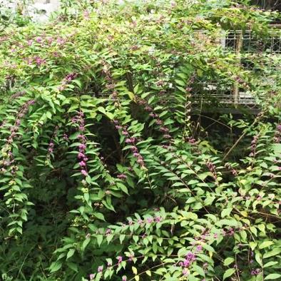 木犀と紫式部