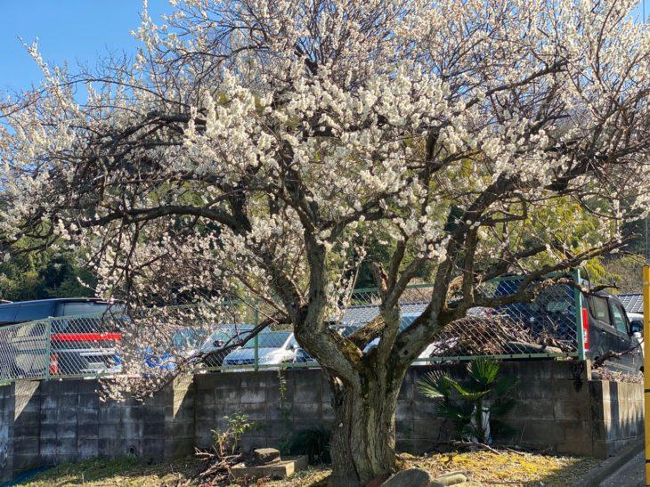梅の花が綺麗です✾